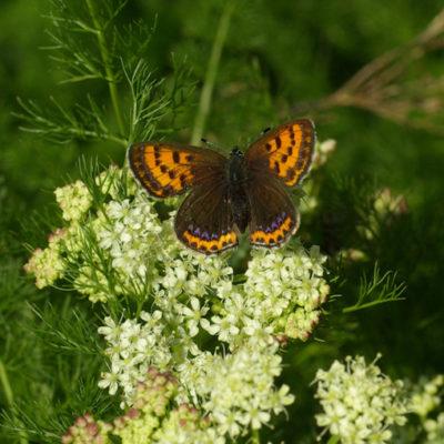 Violet copper (Lycaena helle)
