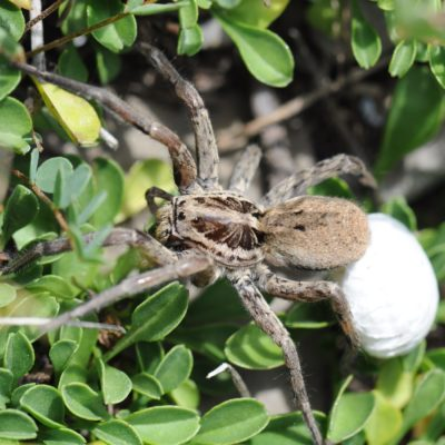 Wolf Spider with egg cocoon (Lycosidae)